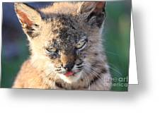 Young Bobcat 04 Greeting Card by Wingsdomain Art and Photography
