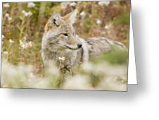 Young Coyote Canis Latrans In A Forest Greeting Card by Philippe Widling