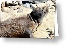 Young Elephant Seal Molting . 7d16118 Greeting Card by Wingsdomain Art and Photography