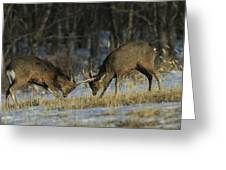 Young Male Sika Deer Practice Sparring Greeting Card by Tim Laman