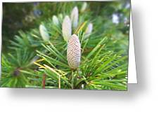 Young Pine Cones Greeting Card by Anne Mott
