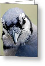 Blue Jay Greeting Card by Skip Willits