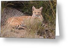 Bobcat At Rest Greeting Card by Alan Toepfer