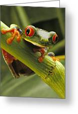 A Red-eyed Tree Frog Agalychnis Greeting Card by Steve Winter