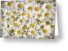 Chamomile Flowers Greeting Card by Elena Elisseeva