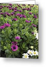 Osteospermum Flowers Greeting Card by Erin Paul Donovan