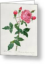 Rosa Indica Greeting Card by Pierre Joseph Redoute