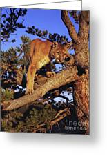 Mountain Lion Greeting Card by Dennis Hammer