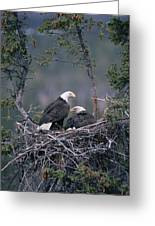 Bald Eagle Haliaeetus Leucocephalus Greeting Card by Michael Quinton