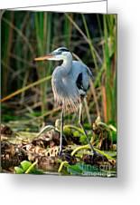 Great Blue Heron Greeting Card by Matt Suess