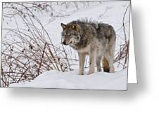 Timber Wolf In Winter Greeting Card by Michael Cummings