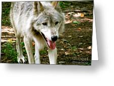 The Wild Wolve Group A Greeting Card by Debra     Vatalaro