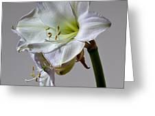 Amaryllis 2 Greeting Card by Robert Ullmann