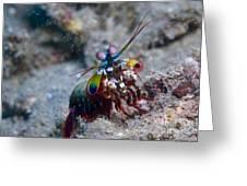 Close-up View Of A Mantis Shrimp, Papua Greeting Card by Steve Jones