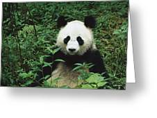 Giant Panda Ailuropoda Melanoleuca Greeting Card by Cyril Ruoso