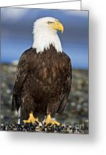 A Bald Eagle Greeting Card by John Hyde - Printscapes