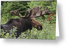 A Bull Moose Among Tall Bushes Greeting Card by Michael Melford