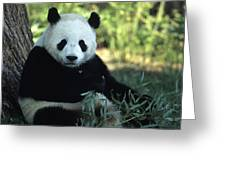 A Giant Panda Eating Bamboo Greeting Card by Taylor S. Kennedy