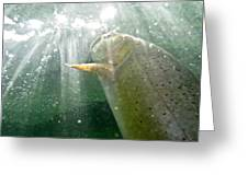 A Snake River Fine Spotted Cutthroat Greeting Card by Drew Rush