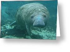 About To Meet A Manatee Greeting Card by Kimberly Mohlenhoff