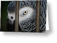 African Grey Greeting Card by Robert Meanor