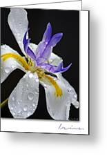 African Iris Greeting Card by Holly Kempe
