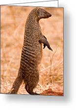 Alert Mongoose Greeting Card by Adam Romanowicz