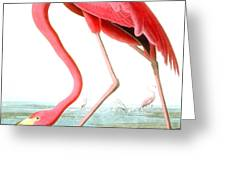 American Flamingo Greeting Card by John James Audubon