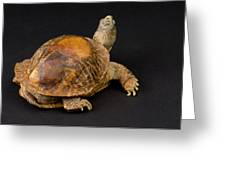 An Ornate Box Turtle With A Fiberglass Greeting Card by Joel Sartore