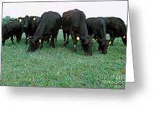 Angus Cattle Greeting Card by Science Source
