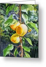 Apricots In The Garden Greeting Card by Irina Sztukowski