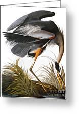 Audubon: Heron Greeting Card by Granger