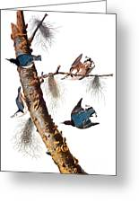 Audubon: Nuthatch Greeting Card by Granger