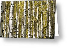 Autumn Aspens Greeting Card by Adam Romanowicz