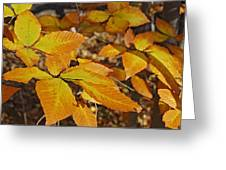 Autumn Beech  Greeting Card by Michael Peychich