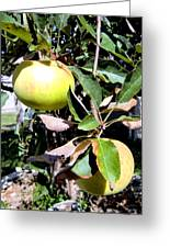 Back Yard Apples Greeting Card by Mindy Newman