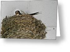 Barn Swallow Hirundo rustica Greeting Card by Douglas Barnett