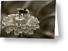 Bee On A Zinnia In Sepia Greeting Card by Marion McCristall