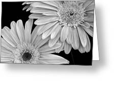 Black And White Gerbera Daisies 1 Greeting Card by Amy Fose