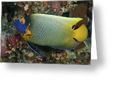 Blue Face Angelfish Greeting Card by Steve Rosenberg - Printscapes