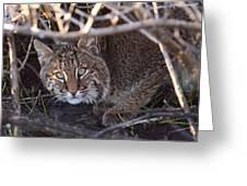 Bobcat Greeting Card by Bruce J Robinson