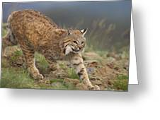 Bobcat Stalking North America Greeting Card by Tim Fitzharris