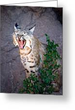 Bobcat Yawn Greeting Card by Randall Ingalls