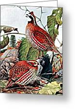 Bobwhite Quail Greeting Card by Louis Agassiz Fuertes