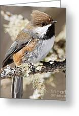 Boreal Chickadee Greeting Card by Larry Ricker
