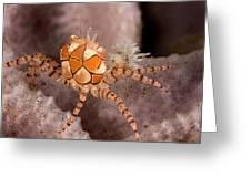 Boxer Crab On Sponge Lybia Tesselata Greeting Card by Tim Laman