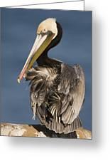 Brown Pelican Preening La Jolla Greeting Card by Sebastian Kennerknecht