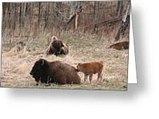 Buffalo And Calf Greeting Card by Andrea Lawrence