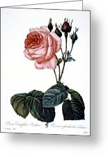 Cabbage Rose Greeting Card by Granger