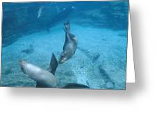 California Sea Lions At Play,  Zalophus Greeting Card by James Forte